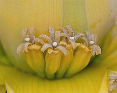 チャイニーズイエローバナナ(地涌金蓮)Musella lasiocarpa   和名:チユウキンレン 流通名:チャイニーズイエローバナナ・地涌金蓮 学名: Musella lasiocarpa 原産地:中国雲南省 耐寒性が非常に強いのが特長です。主に観賞用に用いられます。花は4~6ヶ月の期間は鑑賞できます。 大きくならず鉢植えで室内でも十分楽しめます。