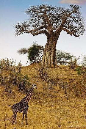 学名はA. digitataを報告した仏人自然学者ミシェル・アダンソン(Michel Adanson)の名に由来する。原生種がマダガスカルに6種、オーストラリアとアフリカに1種ずつ存在する。