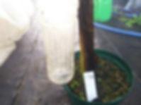 耐寒性食用バナナ・アイスクリームバナナ大苗No2 (見本) 品種:アイスクリームバナナ 学名:Musa icecream 大苗No2 4200円 ご注文はこちら
