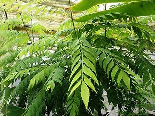 カレーリーフ生葉・カレーには欠かせないハーブ・ 無くなり次第完売です  乾燥葉が多く流通していますが香りは乾燥や時間の経過で失われます。 だから生のカレーリーフの葉は貴重で流通しません。カレーには欠かせないハーブ。本場のカレー好きには有名なスパイスです。もちろん国産(飛騨)産の無農薬栽培です。  海外からの乾燥されたカレーリーフは香りが弱い。生の葉では香りが全然違います。  注文を頂いてから収穫しますので新鮮なカレーリーフ生葉をお送りいたします。 葉の新鮮な状態を保つために脱脂綿で湿らせている状態でお送りいたします。  カレーリーフ専用ページはこちら     ※鮮度をためつために収穫してすぐにお送りいたします  ※40g(約20~40枚くらい)。かなりお値打ちな国産価格です。  送料全国一律400円(何個買っても同額です)      40g 1600円    80g 3100円   120g 4500円   160g 5800円 ご注文はこちら