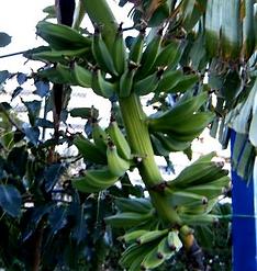 へレンズバナナ   学名:Musa sp. Helen's Hybrid  原産国:ヒマラヤ東部     すごく耐寒性のある種類です。果実には種はありますが甘く香りの良い美味な  バナナです。