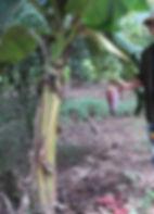 ・ドワーフナムワバナナ  (Musa Dwarf Namwa)  小型の美味しい食用バナナ。  地植えでも2mほど。鉢植えでも十分に実を付ける。デザートバナナともいわれ味はGood  人気度:★★★★ 1番人気  