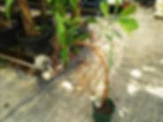 1本限定!カシューナッツ特大木・挿し木で根を張らせています・写真現品  Anacardium occidentale  ウルシ科 原産地:ブラジル カシューアップルと呼ばれる果肉には、リンゴに似た芳香があり、生食用、もしくはジャム、チャツネ、ジュース、酒(インドのフェニーなど)などの原料として利用されている。  1本限定のため売り切れ次第販売終了になります。  特大木 19800円 ご注文はこちら