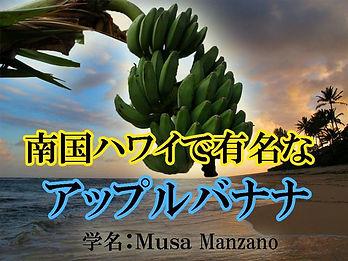 ハワイ原産の耐寒性食用バナナ、アップルバナナ苗木