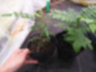 カレーリーフ苗木・カレーには欠かせないハーブ・最後の1鉢! 英名: Murraya koenigii 別名: カレーの木 カレーには欠かせないハーブ。カレー好きには有名です。 1鉢   2100円 完売