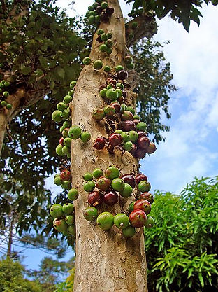 イランイランの木、紅の木(ベニノキ)、ヤシの木、バナナパッションフルーツ、カシューナッツ、ナンヨウアブラギリ、ストレリチア・レギナエ、ヘリコニア、コーラルシャワー ツリー、マカダミアナッツ(ボーモント) バナナの種販売 バーミーズブルーバナナ バナナの育て方 耐寒性バナナ バナナ苗販売専門店 耐寒性バナナ苗の販売 ホワイトバナナ リンパンスワンプバナナ ヘレンズバナナ苗 ベルチナバナナ ピンクバナナ パパイヤ苗 人気の観葉植物 観葉植物はバナナ バナナとは バナナ栽培 宮崎バナナ スーパーミニバナナ Miniバナナ ドワーフバナナ フルージック イエロードラゴンフルーツ 奥飛騨ファーム ヤシの種販売・ヤシの苗販売 耐寒性ヤシ ヤシ苗 ヤシの種 イエローピタヤ ドラゴンフルーツ苗木販売 ジャボチカバ・コウモリラン・ビカクシダ・コナコーヒーの木 カレーリーフ(生葉)カレーの木