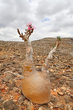 砂漠のバラ(アデニウム・オベスム)No5 現品  学名:Adenium obesum