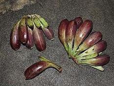耐寒性のタイワンバナナ Musa formosana