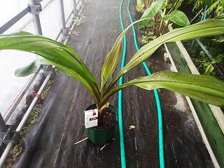 珍しい赤色のクリナム大苗 (見本)  品種:crinum asiaticum procerum  葉っぱは日光が当たればどんどん赤みが増します。普通のハマユウとは違い赤色ですので珍しいです。 なかなか流通しない赤色のハマユウ(浜木綿)。 写真の葉は緑ですが日光に当てれば赤くなりますのでご安心ください。株分けした苗です。  大苗 3400円 完売