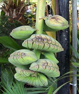 ・合掌バナナ  (MusaKluai Thepanom)  名前のとおり手で合掌しているように見えるバナナ  もちろん食用バナナ  人気度:★★