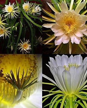 「イエローピタヤ」、「ゴールデンピタヤ」、「イエロードラゴン」などの商品名で販売。主にコロンビア産のものが入ってきている。これは前述のゴールデンドラゴンとは別属のSelenicereus属の果実で、Hylocereus属の物とは果実の形が異なる。自家親和性だが人工授粉した方が実の付きが良くなる。学術的には、この種を他のドラゴンフルーツと同属のとして扱う場合もある。 ウィキペディア(Wikipedia)。