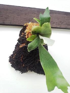 コウモリラン・ヘゴ板付け No4  こんな本場のへゴ板なんて手に入らない・超限定品。どれも全て形が違うヘゴ板。自然の形をそのままコウモリランにヘゴ板付けしています。 一般的なコウモリランのヘゴ板付けに飽きた方はワンランク上のヘゴ板付けをしてみてください。 水槽の中で植物を育てるアクアテラリウムやテラリウムに利用したら誰もが目をひくだろう。 ※限定生産のため同じものは手に入りません。  ※写真現品 ※高さ20㎝ほど ※へゴ板裏にはフックが付いていて壁掛け用 1株 4500円 売り切れ