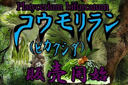 コウモリラン中苗No1(ビカクシダ・プラティセリウムビフルカツム)右写真現品 Platycerium bifurcatum 葉がコウモリの羽のような形をしているのでこう呼ばれている。 板などに張り付けて独自のスタイルにアレンジしてみてください。この上物の株でこの価格なら絶対お得。
