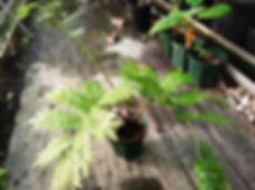 リュウビンタイ中株! 写真見本  リュウビンタイ科(Marattiaceae) 耐寒性は強い。室内の日差しが当らない日陰で育てるのがベスト。 インテリアとして最高の株になります。この大きさになるまでに何年もたっています。 中株 2900円 完売
