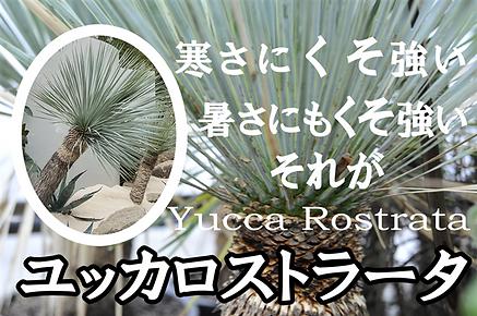 寒さにくそ強いユッカロストラータ特大クラス 学名:Yucca Rostrata 科名:リュウゼツラン科 属名:ユッカ属 近年話題になっているユッカロストラータ。乾燥、耐寒性はずば抜けている。寒さにくそ強いので野外で冬を越す。