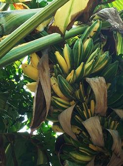 ・斑入りタニーバナナ  (Musa Tanee)  タイのオリジナル斑入りバナナ  実も斑入りです  実には種がありますが食用可能  人気度:★★★