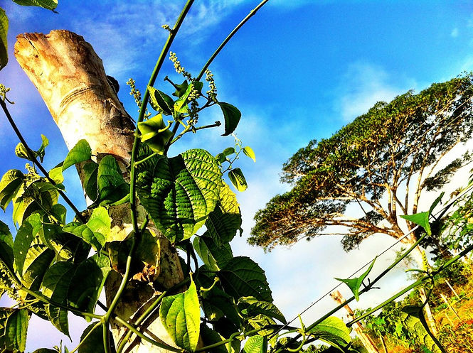 ※石垣島でのサチャインチ(グリーンナッツ)オイル試験栽培地は見学不可     ※サチャインチ(グリーンナッツ)栽培の最新情報はこちら