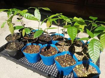 ~日本では珍しいカカオを育ててみよう~  カカオといえばチョコレート・ココアの原料  それをインテリアとして育てる  カカオの実は日本では売られていないのでレアです  一般的な植物に飽きた方はワンランク上のカカオ栽培にチャレンジ
