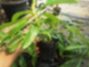 食虫植物・ネペンテス(ウツボカズラ)中株 写真見本 ネペンテス(ウツボカズラ) 学名:Nepenthes 東南アジアを中心に生育するつる性の食虫植物。 冬の寒さだけ管理できれば育て方は簡単です。これからツボがでてきます。 1鉢         1500円  2鉢セット  2800円  ご注文はこちら