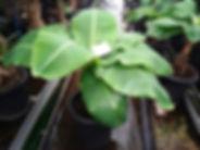 背丈60㎝で実がなるスーパーミニバナナ特大苗No2 学名:Musa acuminata 'Super Dwarf Cavendish' 別名:矮性ミニバナナ・スーパーミニバナナ ※一番開花が早い大きさの苗木 10号鉢に植えていますので植え替え不要で開花までいけます。インテリアに最適な大きさです。この大きさから開花まで約6ヶ月ほど(環境により違います)。 ※このクラスはお一人様1本までと制限をさせていただいています