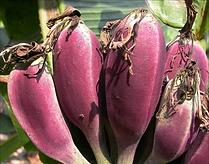 バーミーズブルーバナナ  学名:Musa itinerans (Burmese Blue) 流通名:バーミーズブルーバナナ 原産地:インド     超寒さに強い耐寒性食用バナナの種子です。 調べてみると耐寒性ー10℃!実が紫色のバナナです。