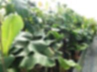 温泉ハウス内の全てのバナナを1本1本愛情こめて栽培しています。植物に大切なものは肥料・水もですけど一番は愛情です。わが子を育てる感覚でバナナ苗木を生産しています。わが子(バナナ)を立派に育てからお客様に納品しています。