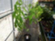 マメ科:カッシア属  原産地:中南米  シャワーツリーの中で人気の品種。ハワイではよく見られるきれいな花。  耐寒性もそこそこあるので日本でも栽培可能ですよ。
