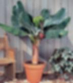 スーパーミニバナナ  学名:Musa acuminata 'Super Dwarf Cavendish'  別名:矮性ミニバナナ     背丈が60cmくらいで実がなるね超小型の食用バナナ。海外で品種改良され生まれた品種。小型なので室内で管理ができる。耐寒性は5度程度とお考え下さい。