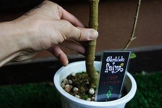 レアな甘味系のアセロラの木(マノアスイート)特大苗 写真見本・数量限定です 学名:Malpighia emarginata 一般的なアセロラは酸味が強く甘味の薄い酸味系。マノアスイートは酸味が少なく甘味が強い甘味系です。 ハワイ原産で甘酸っぱく大きい実をつけるのが特徴のアセロラ。年に4回程は実はなります。 育てるなら甘味系の方が良い。この価格はかなりお得です。去年も実はなっています。すぐに実はつきます。 1鉢         3980円  2鉢セット  7600円  ご注文はこちら