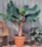背丈60㎝で実がなるスーパーミニバナナ小苗! 株分けした苗木  学名:Musa acuminata 'Super Dwarf Cavendish' 別名:矮性ミニバナナ・スーパーミニバナナ 背丈が60cmくらいで実がなるね超小型の食用バナナ。 小型なので鉢植え室内で管理ができます!耐寒性は5度程度とお考え下さい。 バナナの実の大きさはモンキーバナナくらいのミニサイズです。味は甘くておいしいです! ※鉢はスリット鉢に植えかえしています。(サークリング現象が起きない) ※最近この品種に似た偽造品が流通していますので注意してください