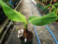 輸入したドワーフブラジリアンバナナ大苗 写真見本 学名:Musa Dwarf Brazilian 味が非常に優れたドワーフブラジリアンバナナ。ドワーフ(小型)なので大型品種ではなく管理がしやすいバナナ。2mほどで開花しますので鉢植えでいけます。甘みと酸味が強くたまらない美味しさ。触感はモチモチしている。 耐寒性もそこそこはありますが5度以下を下回らないのが理想。 輸入苗木にしては激安価格にしています。