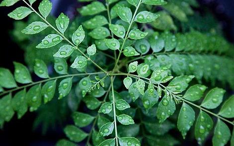 英名: Curry Leaf 和名: カレーの木、カレーリーフ、ナンヨウザンショウ  学名: Murraya koenigii     無農薬栽培のカレーリーフ生葉・カレーには欠かせないハーブ     乾燥葉が多く流通していますが香りは乾燥や時間の経過で失われます。 だから生のカレーリーフの葉は貴重で流通しません。カレーには欠かせないハーブ。本場のカレー好きには有名なスパイスです。  もちろん国産(飛騨)産の無農薬栽培です。  海外からの乾燥されたカレーリーフは香りが弱い。生の葉では香りが全然違います。  注文を頂いてから収穫しますので新鮮なカレーリーフ生葉をお送りいたします。 葉の新鮮な状態を保つために脱脂綿で湿らせている状態でお送りいたします。        ※鮮度をためつために収穫してすぐにお送りいたします  ※カレーリーフ生葉は40g(約30~40枚くらい)。お値打ちな国産価格です。  送料全国一律400円(何個買っても同額です)       40g 1600円     80g 3100円    120g 4500円              160g 5800円 ご注文はこちら        飛騨産カレーリーフ生葉の販売専用Webページはこちらから  https://www.okuhidabanana.com     ※飲食店様などの卸販売ご希望のお客様はお問い合わせください