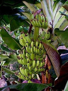 ・グロスミッチェルバナナ  (Gros Michel)  アメリカでは爆発的に  人気が出た品種  絶滅の危機にさらされているバナナ  人気度:★★★