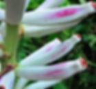 白色の実が生るバナナ Limbang Swamp Banana  ※なかなか流通していない珍しい品種です。  耐寒性は不明です。実は白色です。  学   名:Musa campestris var. limbangensis (Light) 流通名:Limbang Swamp Banana 原産地:ボルネオ