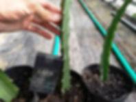 イエロードラゴンフルーツ(イエローピタヤ)小苗   ※根が張り新芽が出ている状態です  小苗1個         1900円    小苗2個セット 3600円      小苗3個セット 5100円   ご注文はこちら
