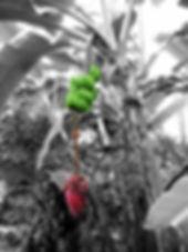 寒さや害虫にも強い食用のアイスクリームバナナ苗販売。その名の通りアイスクリーム(バニラ)の味がする耐寒性の食用バナナ。耐寒性も優れていて冬越し可能な品種。日本でも耐寒性があり美味しいと人気の品種。海外でも耐寒性が強く味は美味しいと有名な品種です。ドワーフオリノコバナナ、アイスクリームバナナ