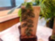 限定販売・クライマー!モンステラ・ドゥビア大株  モンステラ・ドゥビア  学名:Monstera dubia  数量限定でクライマーを販売。希少種なのでなかなか手に入らない。コレクター向きです。壁に張り付いて登っていく植物なのでおもろいです。※写真現品  1鉢  4900円 完売
