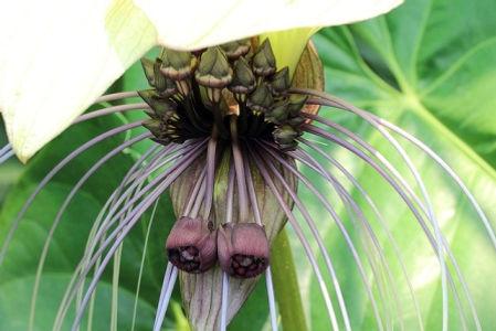 希少種ホワイト・バット・フラワー(White Bat Flower) 大苗・1鉢限定・写真現品 一般名:ホワイト・バット・フラワー(White Bat Flower )  学名:Tacca integrifolia タッカ(Tacca)  科属名:タシロイモ科タシロイモ属(タッカ属、Taccaceae)  別名:タッカ(Tacca)、Kat Wisker flower、Tacca intergrifolia、Devil Flower  原産地:インド  開花期:周年(開花は7~9月) 真っ白の花弁を開き、紫色の長いひげを伸ばしている様子がコウモリに似ているため、コウモリの花とも言われている。白はなかなか流通しないので希少種です。 花は美しく、ゴージャス。なかなか普通の園芸店では売っていない。花が咲けば2週間ほど楽しめる。  1鉢  3980円 完売
