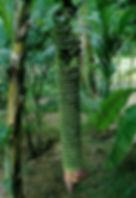・センナリバナナ(千成バナナ)  (100 hand Banana)  ご覧のとおりすごい数のバナナが実ります。食べられますが食用ではなく観賞用とお考え下さい。  人気度:★★★