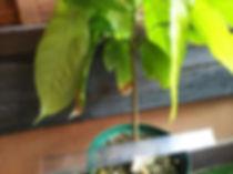 2年物・レッドカカオ大苗No2・ 1本のみ限定販売・写真現品  大きいカカオが実る品種です(Large Rounded Orange Red Cacao Fruit)  品種:トリニタリオ種(TRINITARIO)  大苗 4500円 完売