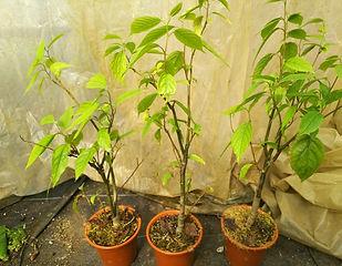 接ぎ木しているイランイランノキ大苗・写真見本  ※接ぎ木した親木を挿し木で増やしていますので花が咲きやすいです。上物です。  1鉢  3500円 ご注文はこちら