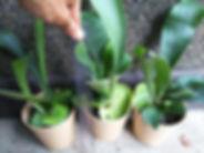 コウモリラン小苗(ビカクシダ・プラティセリウムビフルカツム)写真見本 Platycerium bifurcatum 葉がコウモリの羽のような形をしているのでこう呼ばれている。 板などに張り付けて独自のスタイルにアレンジしてみてください。 1鉢         1600円   2鉢セット  3000円   ご注文はこちら