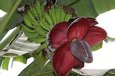 バルビシアーナバナナ MUSA balbisiana    学名:MUSA balbisiana  耐寒温度:5度程度  原産地 インド・ビルマ  バルビシアナは、食用バナナの原種