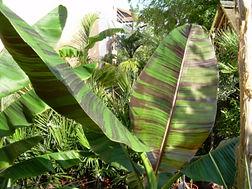 レッドタイガーバナナ  学名:Musa sikkimensis'Manipur'  原産地:インド、ブータン 耐寒温度 : -10℃ぐらい     耐寒性バナナの中ではトップクラスの寒さに強い品種。ダージリンバナナより耐寒性はある。葉には紫の斑が入りオシャレです。