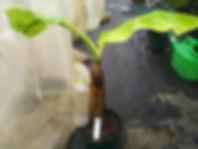 耐寒性食用バナナ・アイスクリームバナナ超極太苗 (見本) 品種:アイスクリームバナナ 学名:Musa icecream 超極太苗 5900円 ご注文はこちら