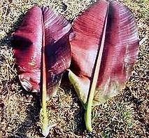 レッドタイガーバナナ Musa sikkimensis Manipur     耐寒性バナナの中ではトップクラスの寒さに強い品種。
