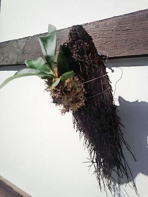 コウモリラン・ヘゴ板付け No2  こんな本場のへゴ板なんて手に入らない・超限定品。どれも全て形が違うヘゴ板。自然の形をそのままコウモリランにヘゴ板付けしています。 一般的なコウモリランのヘゴ板付けに飽きた方はワンランク上のヘゴ板付けをしてみてください。 水槽の中で植物を育てるアクアテラリウムやテラリウムに利用したら誰もが目をひくだろう。 ※限定生産のため同じものは手に入りません。  ※写真現品 ※高さ30㎝ほど ※へゴ板裏にはフックが付いていて壁掛け用 1株 3980円 売り切れ