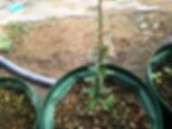 話題のアルガンオイルの原材料(アルガンツリー)大苗 学名:Argania spinosa 別名:アルガンツリー 原産地:モロッコ 近年世界中で色々と話題になっているアルガンオイル(アルガン油)。ヤギが登り実を食べる光景は有名。 人気があるので無くなり次第完売です。個体差あるが弊社の農園でも環境が良ければ発芽しています。 大苗  2980円   ご注文はこちら