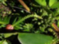 マニラ麻バナナ  学名:Musa textilis (Borneo) 流通名:マニラ麻 原産地:フィリピン・ボルネオ     茎がかなり強く強い風でもなかなか折れないタフなバナナ。耐寒性もかなり強い。  日本では流通はしていない。原産地では幹の繊維を利用しバックなど作られている