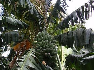 輸入した料理用のサババナナ大苗 (写真見本) 学名:Musa Saba 果肉は甘みが少ないので主に料理用として利用されます。この品種は寒さに結構強い。 関東で路地で冬越し成功しています。大型品種だけど鉢植えで開花までいける。 国内では売られていない品種ですので希少です。 輸入苗木にしては激安価格にしています。数量限定